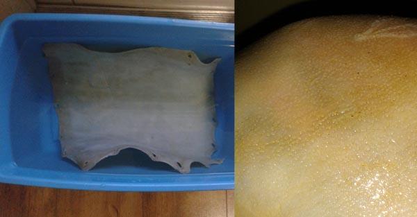 3. Een proefstuk paardenhuid wekend in water en een detail van de opgekomen segrijnkorrels in diezelfde huid.